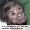 Baby gorilla, Afia